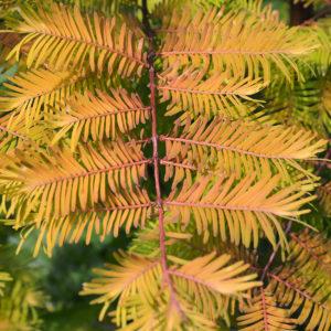Metasequoia glyptostroboides Amber Glow