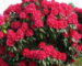 rhododendron-nova-zembla